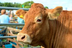 Portrait einer braunen Kuh an einem landwirtschaftlichen Erscheinen stockfotos