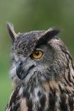 Portrait einer europäischen Adler-Eule Stockbilder