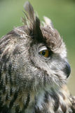 Portrait einer europäischen Adler-Eule Stockbild