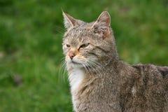 Portrait einer europäischen Wildkatze Stockbild