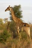 Portrait einer Giraffe Lizenzfreie Stockfotos