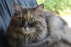 Portrait einer grauen Katze Norweger Forest Cat Nette norwegische schauende und hörende Waldkatze stockfotografie