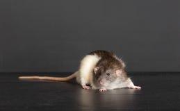Portrait einer inländischen Ratte Stockfoto