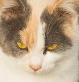Portrait einer Katze mit gelben Augen Gelber Augenkatzenabschluß oben stockfotografie