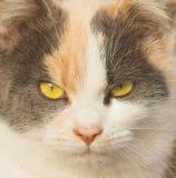 Portrait einer Katze mit gelben Augen Gelber Augenkatzenabschluß oben stockfotos