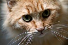 Portrait einer Katze mit großen Augen Stockfotografie
