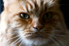 Portrait einer Katzenahaufnahme Lizenzfreie Stockbilder