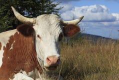 Portrait einer Kuh Stockbild