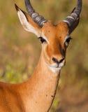 Portrait einer männlichen Impala-Antilope Lizenzfreies Stockfoto