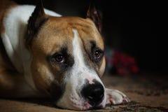 Portrait einer Pitbull lizenzfreies stockbild