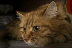 Portrait einer roten Katze Eine Minute Ruhe stockfotografie