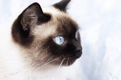 Portrait einer siamesischen Katze Stockfotografie