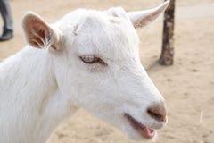 Portrait einer Ziege Stockbild