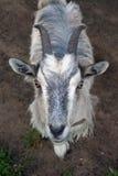 Portrait einer Ziege Lizenzfreies Stockbild