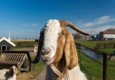 Portrait einer Ziege Stockfoto