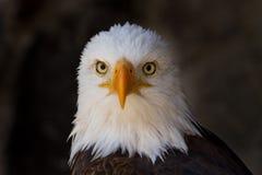Portrait eines Abschlusses des kahlen Adlers oben Lizenzfreie Stockfotos