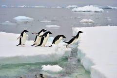 Portrait eines Adelie-Pinguins Lizenzfreie Stockbilder