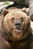 Portrait eines Bären Stockbilder