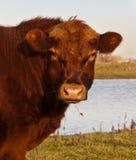 Portrait eines braunen Galloway-Stiers Stockbild