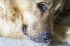 Portrait eines braunen Hundes Lizenzfreie Stockfotos