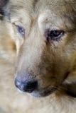 Portrait eines braunen Hundes Stockfoto