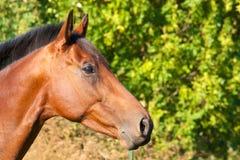 Portrait eines braunen Pferds Stockbilder