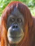 Portrait eines des Orang-Utans Abschlusses oben Stockfotografie