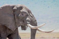 Portrait eines Elefanten Stockfoto