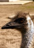 Portrait eines Emu Stockfotografie
