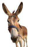 Portrait eines Esels lizenzfreie stockbilder