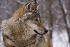 Portrait eines europäischen grauen Wolfs Lizenzfreie Stockfotos