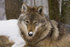 Portrait eines europäischen grauen Wolfs Lizenzfreies Stockfoto