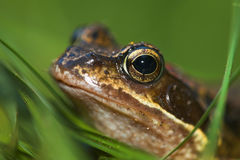 Portrait eines Frosches stockbild
