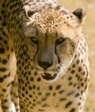 Portrait eines Geparden Stockbilder