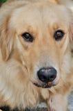 Portrait eines goldenen Apportierhunds Stockbild