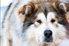 Portrait eines großen Hundes Lizenzfreies Stockfoto