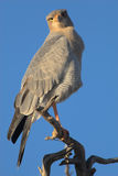 Portrait eines Hühnerhabichts Lizenzfreie Stockbilder