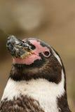 Portrait eines humboldt Pinguins Stockbild