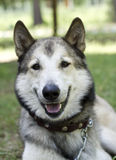 Portrait eines kämpfenden Hundes Stockbilder