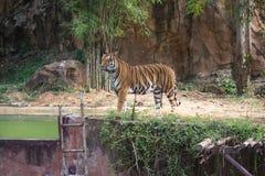 Portrait eines königlichen Bengal-Tigers Lizenzfreie Stockbilder