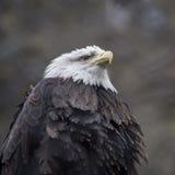 Portrait eines kahlen Adlers Stockbild