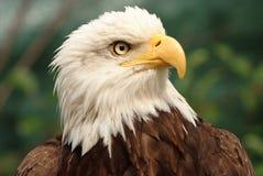 Portrait eines kahlen Adlers Stockbilder