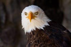 Portrait eines kahlen Adlers mit den Augenlidern schloß Stockbild