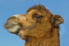 Portrait eines Kamels Lizenzfreie Stockfotos