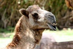 Portrait eines Kamels Lizenzfreies Stockfoto