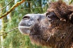Portrait eines Kamels Lizenzfreie Stockfotografie