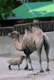 Portrait eines Kamels Farbfoto gemacht an Moskau-Zoo lizenzfreies stockbild