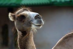 Portrait eines Kamels Farbfoto gemacht an Moskau-Zoo stockfoto