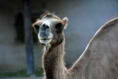 Portrait eines Kamels Farbfoto gemacht an Moskau-Zoo lizenzfreie stockfotografie