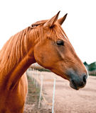 Portrait eines Kastanie-Pferds Stockfotos